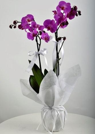 Çift dallı saksıda mor orkide çiçeği  Denizli çiçek gönderme sitemiz güvenlidir