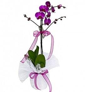 Tek dallı saksıda ithal mor orkide çiçeği  Denizli çiçek yolla , çiçek gönder , çiçekçi
