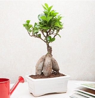 Exotic Ficus Bonsai ginseng  Denizli çiçek siparişi sitesi