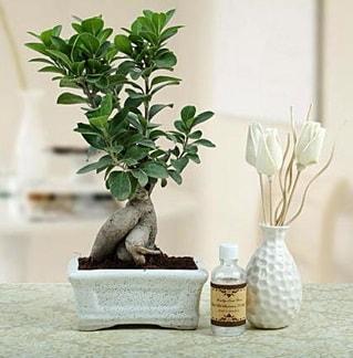 Ginseng ficus bonsai  Denizli çiçek yolla , çiçek gönder , çiçekçi