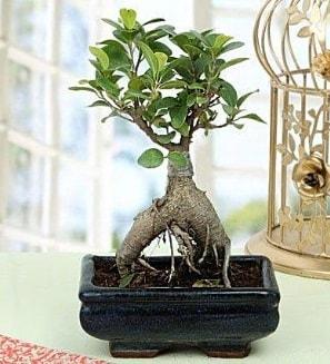 Appealing Ficus Ginseng Bonsai  Denizli ucuz çiçek gönder