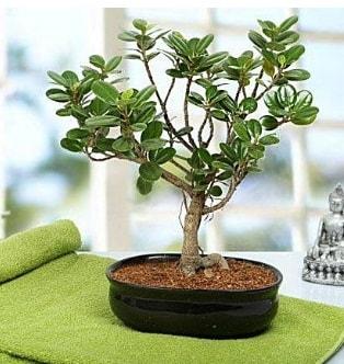 Lovely Ficus Iceland Bonsai  Denizli ucuz çiçek gönder