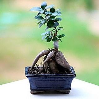 Marvellous Ficus Microcarpa ginseng bonsai  Denizli çiçek gönderme sitemiz güvenlidir