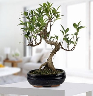 Gorgeous Ficus S shaped japon bonsai  Denizli çiçek siparişi vermek