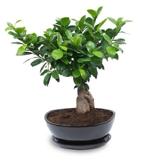 Ginseng bonsai ağacı özel ithal ürün  Denizli online çiçekçi , çiçek siparişi