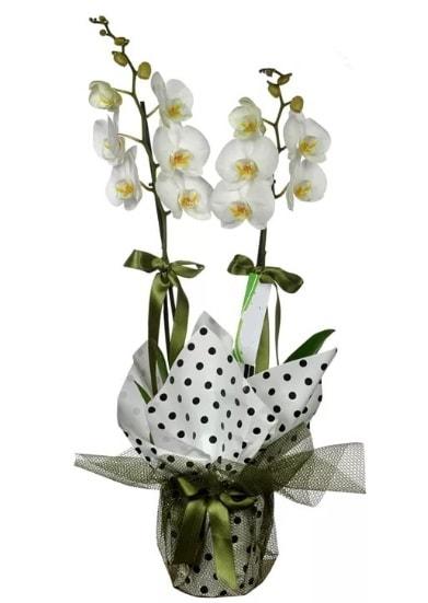 Çift Dallı Beyaz Orkide  Denizli çiçek , çiçekçi , çiçekçilik