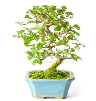 S zerkova bonsai kısa süreliğine  Denizli cicekciler , cicek siparisi
