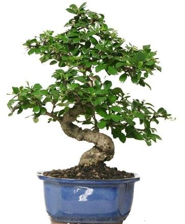 21 ile 25 cm arası özel S bonsai japon ağacı  Denizli hediye sevgilime hediye çiçek