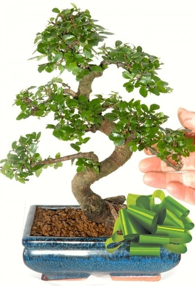Yaklaşık 25 cm boyutlarında S bonsai  Denizli yurtiçi ve yurtdışı çiçek siparişi