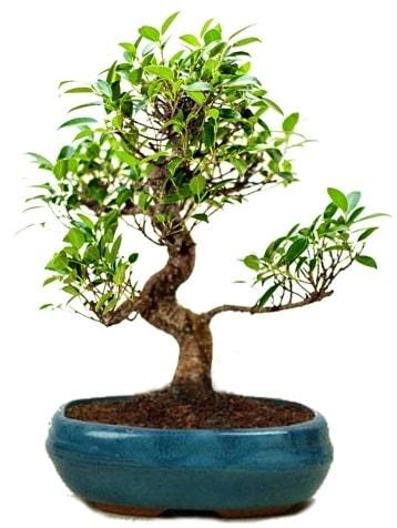 25 cm ile 30 cm aralığında Ficus S bonsai  Denizli uluslararası çiçek gönderme