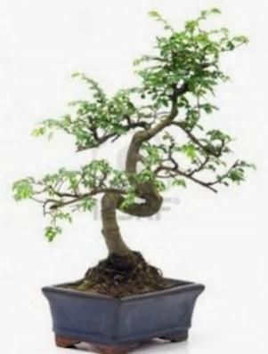 S gövde bonsai minyatür ağaç japon ağacı  Denizli çiçek online çiçek siparişi