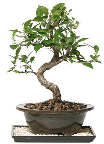 Altın kalite Ficus S bonsai  Denizli hediye sevgilime hediye çiçek  Süper Kalite