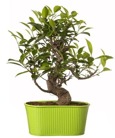Ficus S gövdeli muhteşem bonsai  Denizli yurtiçi ve yurtdışı çiçek siparişi