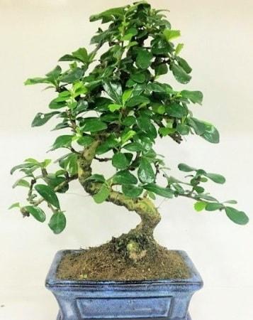 Zelkova S gövdeli Minyatür ağaç Bonzai  Denizli anneler günü çiçek yolla