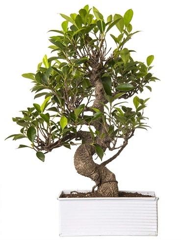 Exotic Green S Gövde 6 Year Ficus Bonsai  Denizli uluslararası çiçek gönderme
