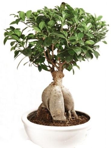 Ginseng bonsai japon ağacı ficus ginseng  Denizli cicekciler , cicek siparisi